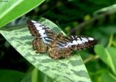 馬爾地夫-瑞僖敦渡假村的生物:L1020167馬爾地夫蝴蝶.jpg