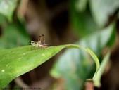 雙溪-老農夫生態農莊及虎豹潭的昆蟲:074A4109關節及跗節黑色.JPG