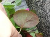 復旦社區花草(106年秋天):DSC09560.JPG