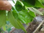 黑點捲葉象鼻蟲的卵苞搖籃:DSC06297空巢.JPG