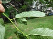 黑點扁刺蛾四齡幼蟲~圓褐繭~羽化:DSC09775黑點扁刺蛾四齡幼蟲.JPG