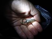 丁子蘭溪與虎豹潭北勢溪水中的魚、蝦、螺和鱉:DSC04382.JPG