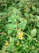 菊科植物:P2130851