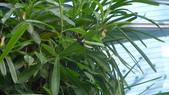 馬爾地夫-瑞僖敦渡假村的生物:L1020168豬籠草.JPG