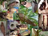 樟葉蓑蛾幼蟲~蛹與蠕狀母蛾現身:蓑蛾蟲巢~母蛾現身.jpg