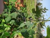 109年,復旦社區新的花草樹木:DSC03099.JPG
