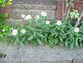 菊科植物:P2110339