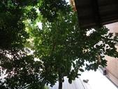 後院種25年的柚子樹首次結果:IMG_8308.JPG