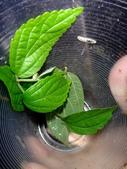 細扁食蚜蠅終齡幼蟲~化蛹~羽化:DSC06653不吃朴樹蚜蟲.JPG