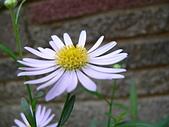 菊科植物:P2110356