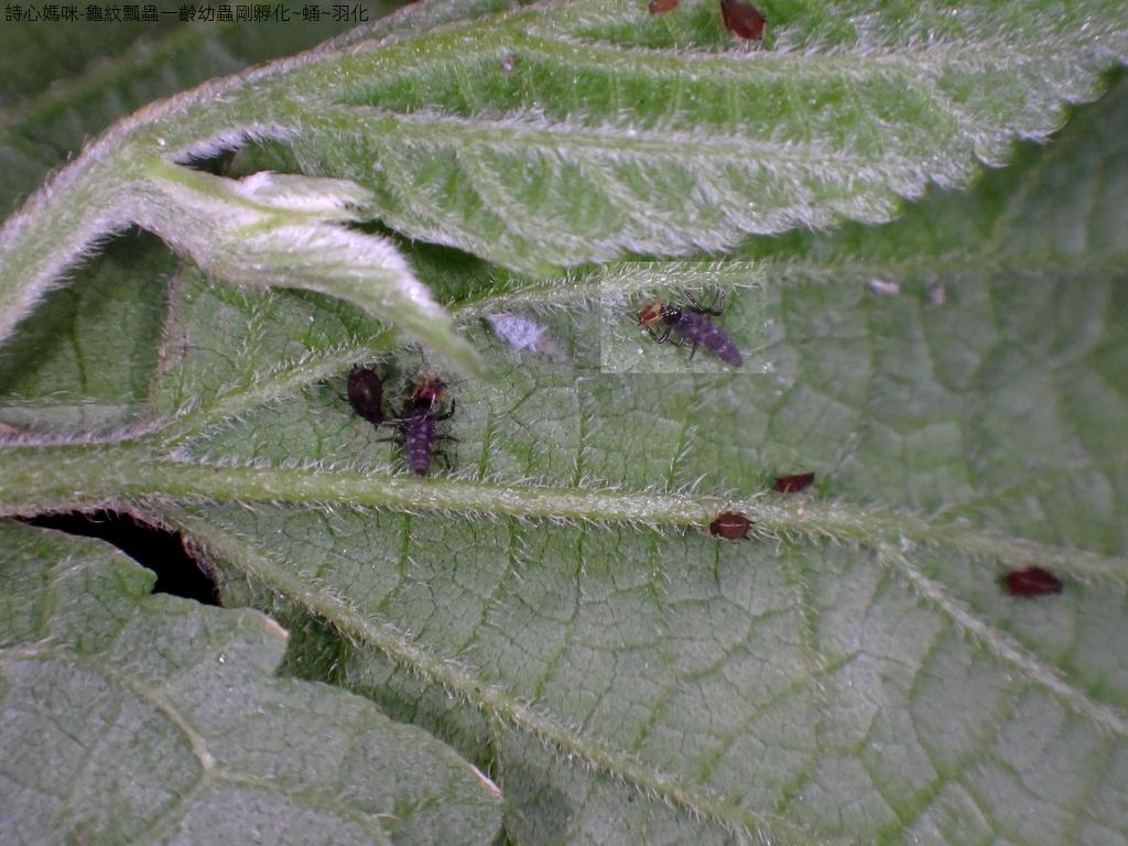 龜紋瓢蟲一齡幼蟲剛孵化~蛹~羽化:DSC04657瓢蟲寶寶捕食蚜蟲.JPG