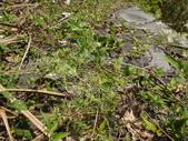 雙溪-老農夫生態農莊及虎豹潭的植物:DSC03553.JPG