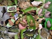 體色多變的褐樹蛙家族(蝌蚪~幼蛙~成蛙):褐樹蛙家族.jpg