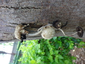 野菇蕈-復旦109~110年:DSC08788.JPG