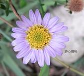 菊科植物:臺灣狗娃花 紫黃二色花