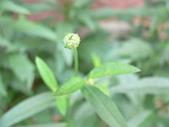 菊科植物:P2110372
