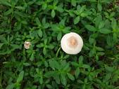 公園草坪比手掌大的二種傘菇 105.9.18~19:DSC02098.JPG