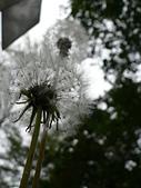 菊科植物:P1940914