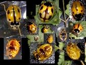 龜紋瓢蟲一齡幼蟲剛孵化~蛹~羽化:三隻龜紋瓢蟲.jpg