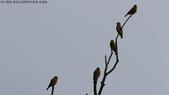 復旦社區稀有冬侯鳥-金翅雀:N74A4468.JPG