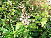 草本類植物:貓鬚草長花蕊
