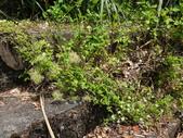 雙溪-老農夫生態農莊及虎豹潭的植物:DSC03555.JPG