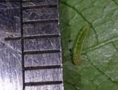 梔子三紋野螟蛾(幼蟲~蛹~羽化):DSC08689身長3mm.JPG