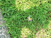 菊科植物:狗娃花