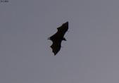 馬爾地夫-瑞僖敦渡假村的生物:L1010140蝙蝠.JPG