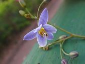 復旦三月花朵:DSC03135桔梗蘭花朵.JPG
