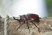 鞘翅目 金龜子:DSC00203