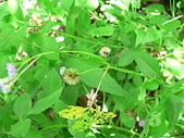 菊科植物:P2160267