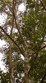 獨角仙寄居台灣光蠟樹:35459獨角仙寄居的樹.jpg