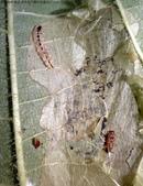 復旦-新天母公園的昆蟲2017/10:DSC08622蛻皮與空蛹.jpg