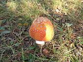 野生菇蕈天地 970810/971026日本北海道:97.10.26 北海道橘紅色大地菇