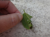 黑點捲葉象鼻蟲的卵苞搖籃:DSC07958.JPG
