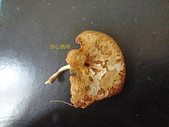 野生菇蕈天地 101~102年:DSC00492