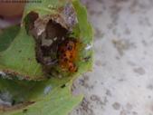 黑點捲葉象鼻蟲的卵苞搖籃:DSC07966.JPG