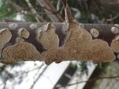 野菇蕈-復旦109~110年:DSC05449乳白耙菌 Irpex lacteus.JPG