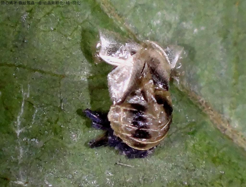 龜紋瓢蟲一齡幼蟲剛孵化~蛹~羽化:DSC06196雌空蛹.JPG