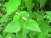 菊科植物:P2160254