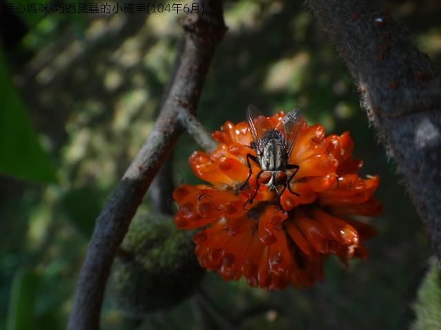 巧遇昆蟲的小確幸(104年6月):DSC08954肉蠅.JPG