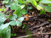 復旦社區的野菇蕈:DSC09942.JPG