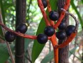 夏威夷椰子黃花序及黑果子:DSC05535.JPG