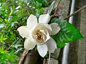 驚豔的花朵(白色系):重瓣黃梔花朵