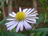 菊科植物:P2110355