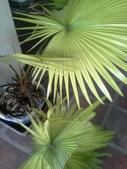 老友台北家盆栽植物:13738黃棕櫚.jpg
