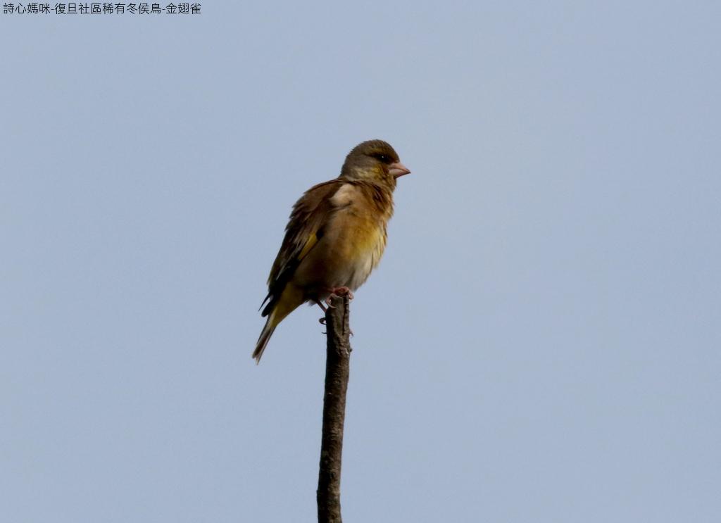復旦社區稀有冬侯鳥-金翅雀:074A9111金翅雀.jpg