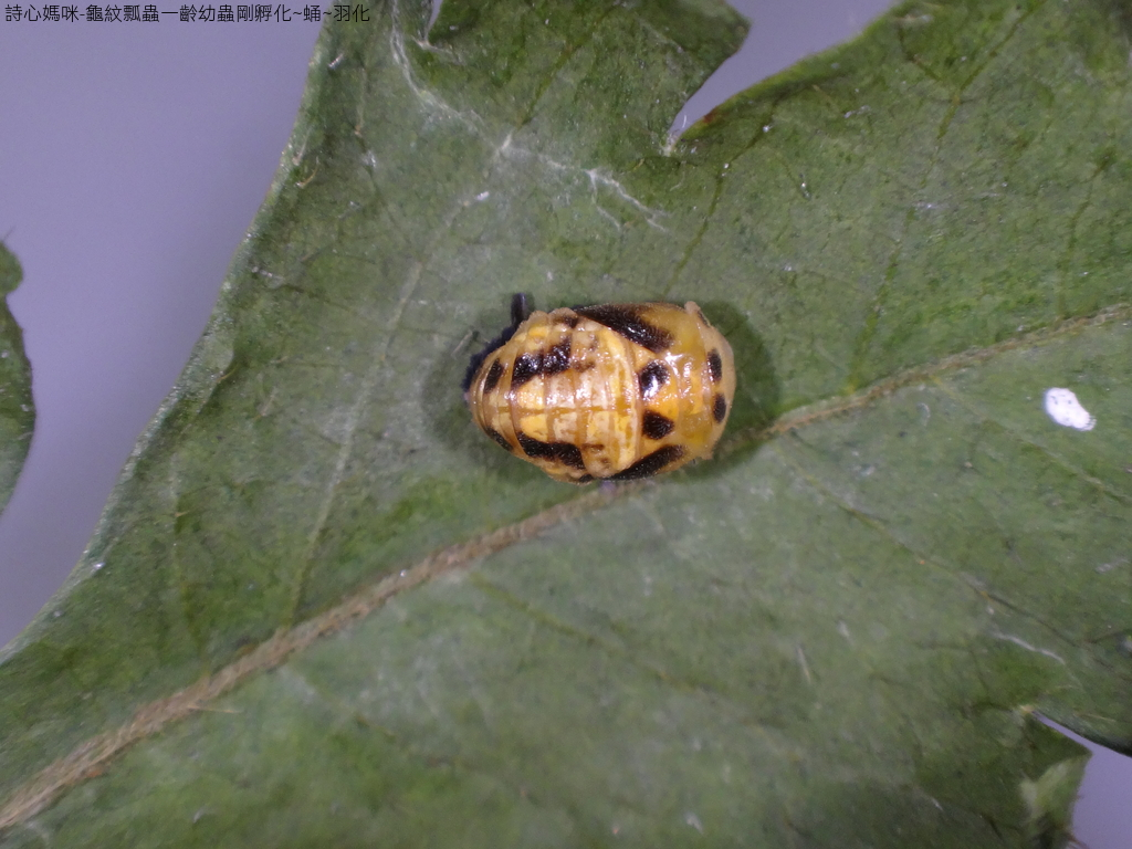 龜紋瓢蟲一齡幼蟲剛孵化~蛹~羽化:DSC06191龜紋瓢蟲蛹.JPG