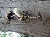野菇蕈-復旦109~110年:DSC08786鱗狀墨汁似鬼傘.JPG